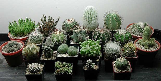 kaktuse-v-dome