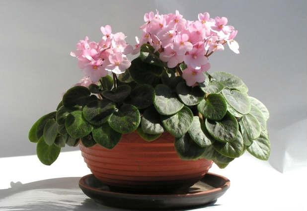 uhod-i-vyrashhivanie-cvetka-fialki
