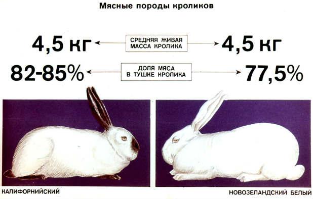 Mjasnye-porody-krolikov
