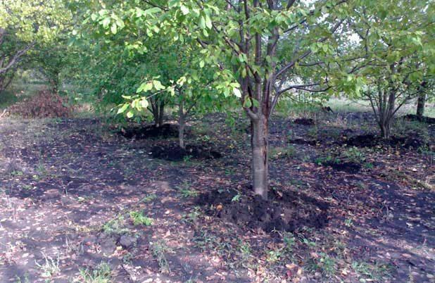 Суперфосфат осенью под деревья