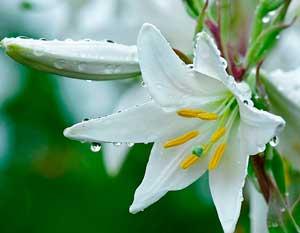 belye-lilii