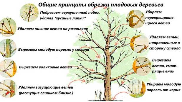 obshhie-principy-obrezki-plodovykh-derevev01